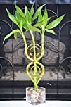 Dream Catcher Lucky Bamboo Plant Arra…