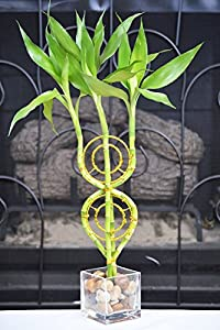Dream Catcher Lucky Bamboo Plant Arrangement