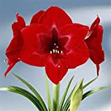 Amaryllis 'Red Velvet' gift pack. Amaryllis growing kit