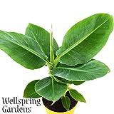 "Banana Plant Fruit Tree Musa ""DWARF CAVENDISH"" LIVE PLANT Edible tropical garden"