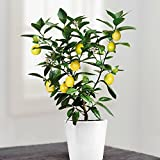 Mini Lemon Tree 25 cm - 1 tree