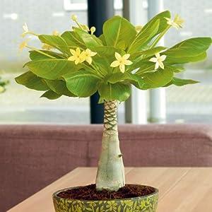 Hawaii-Palme mit Keramik-Topf: Amazon.de: Garten