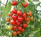 西日本最大級の生産農業法人 花の海産 トマト 接木苗 ※品種指定はできません。 (ミニトマト)