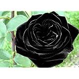 Black of Night Rose Seeds Bush Flower Seeds - Treasuresbylee Exclusive