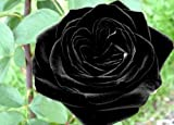 Black of Night Rose Seeds Bush Flower Seeds