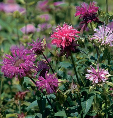Flower Bee Balm Panorama Mix