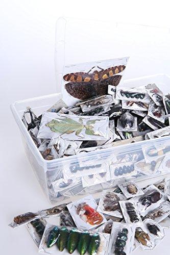 Natural History Curiosities Insetti veri essiccati di Thailandia, in busta non incorniciata, per gli studi,12 pezzi 12 insetti e scarafaggi assortiti per studi di entomologia, biologia, scientifici e artistici