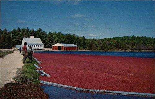 Cranberry Harvest in Carver, Massachusetts