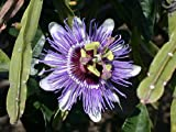 Edible Passion Vine Plant - Passiflora caerulea - Exotic!