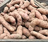 10 Pink Firs Apple Maincrop Seed Potatoes