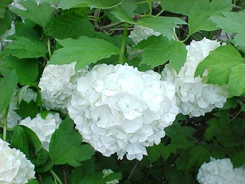 Viburnum Roseum Snowball: Well Established: Container Size: #1