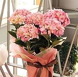 可愛い紫陽花(アジサイ) 種アジサイ 6号鉢〔舞姫〕花ギフト(紫陽花ピンク濃淡の商品です。 )花工房花贈りエーデルワイス フラワーギフト