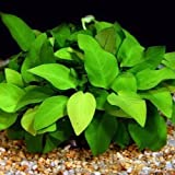 Beginner Live Aquarium Plants Java Moss Fish Tanks ADA - Anubias Nana 'Golden' (Color: Gold)