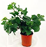 Amazing Pixie Pinot Meunier Grape Vine Plant with Fruit - Indoors or Out -4