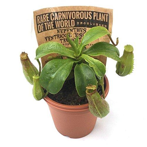食虫植物 ウツボカズラ Nepenthes ventricosa(b) sq...