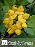Greater Bird's-foot Trefoil, (Lotus uliginosus) Plant - 25 plug plants