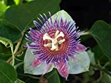 Sweet Calabash Passion Flower 15 Seeds- Passiflora