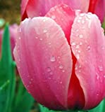 Amazon / Hirts: Bulbs; Tulip: Pink Impression Darwin Tulip 10 Bulbs - Super Value! - 12/ cm Bulbs