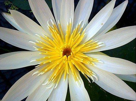 White Lotus 10 Seeds - Nymphaea ampla white - Dotleaf
