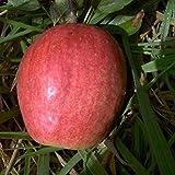 Apfel Finkenwerder Herbstprinz-Apfel