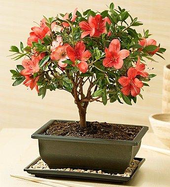 1-800-Flowers – Azalea Bonsai – Azalea Bonsai for Sympathy By 1800Flowers