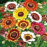 Biocarve Chrysanthemum carinatum - Pack of 200 seeds