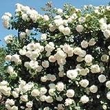 バラ苗 ブランピエールドゥロンサール 国産大苗裸苗 つるバラ(CL) 返り咲き アンティークタイプ 白系