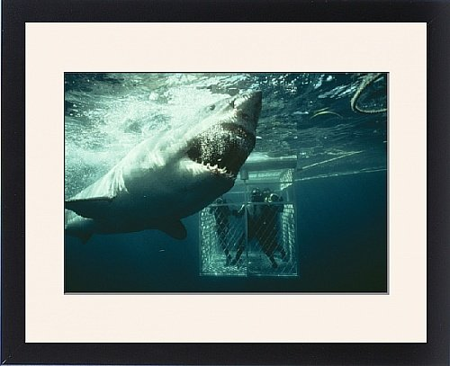 Framed Print Of Great White / White / White Pointer Shark - A Scuba Divers In Ca