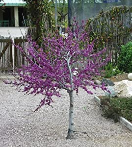 Western Redbud Tree-Cercis occidentalis-10+seeds $2.99