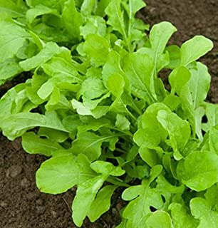 Amazon.com : Lettuce Five Star Greenhouse Mix D192A (Multi Color ...