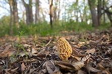 A Morel Mushroom