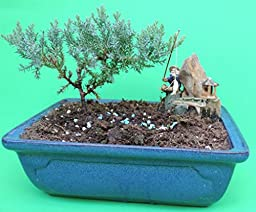 Fertilized Juniper bonsai tree with blue glazed handmade vase sold by JM Bamboo