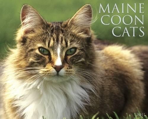 Maine Coon Cats 2011 Wall Calendar