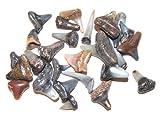 Lot 15 Fossilized Shark Teeth Miocene Epoch