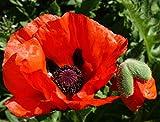 Brilliant Red Oriental Poppy 600 Seeds