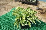 ホスタ パトリシア(斑入り ギボウシ) 日陰やワンポイントの植栽に最適♪