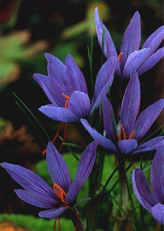 10 Saffron Crocus Bulbs-Rare Spice-Crocus Sativus