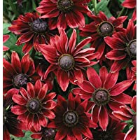 Flower Rudbeckia Cherry Brandy D1865 (Red) 25 Seeds by David's Garden Seeds