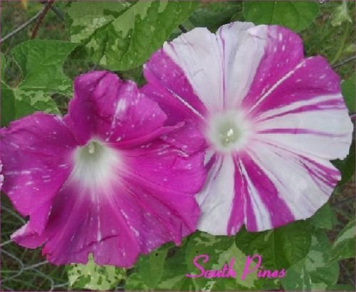 miko-no-mai-japanese-morning-glory-seeds-ipomoea-nil-sibyls-dance-vhtf