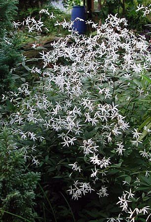 Buy Indian Physics Plant – Gillenia – Star Shaped Flowers