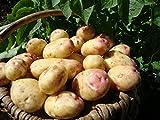 2 kg seed potatoes KING EDWARD - Maincrop