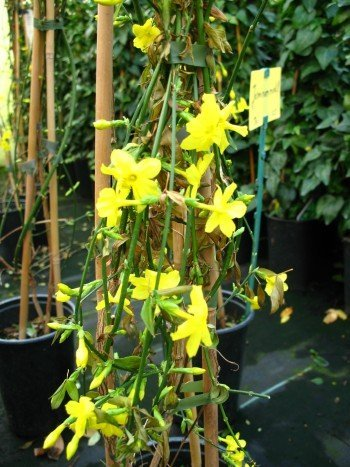 Echter winter jasmin jasminum nudiflorum 60 cm hoch im for Winter gartendeko