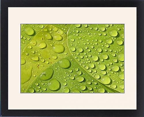 Framed Print Of Raindrops On Leaves Of A Water Lily front-895781