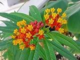 Seeds and Things Butterfly Scarlet Milkweed Bloodflower Seeds 50