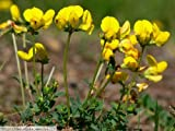 TREFOIL - LOTUS CORNICULATUS - 5GM ~ 4000 SEEDS - BIRDS FOOT