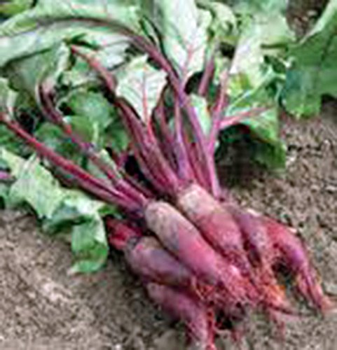 Beets, Cylindra, Heirloom, Organic, 25+ Seeds, Tender N Sweet, Cylindrical Shape