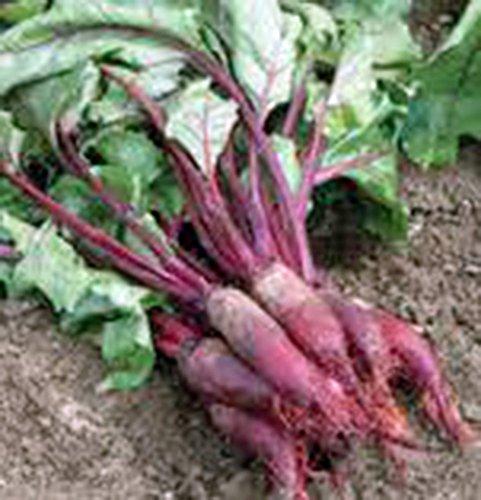 Beets, Cylindra, Heirloom, Organic, 25+ Seeds, Tender N Sweet, Cylindrical Shape