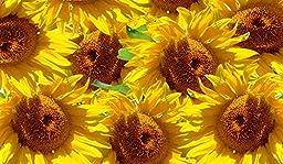 Sun Flowers Canvas Art Giclee (16HX40W)