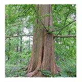 New Life Nursery & Garden Redwood Tree (Metasequoia), (Quart Pot) (Color: ( Quart Pot ))