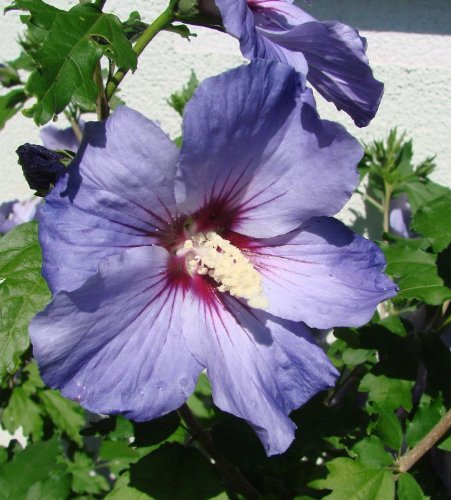 Rose-Sharon-Blue-Satin-Established